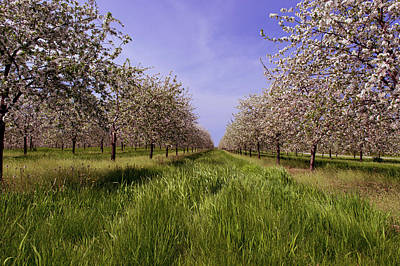 Cherry Blossoms In An Orchard Art Print