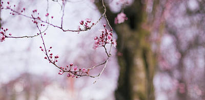 Photograph - Cherry Blossoms In Portland by Kunal Mehra
