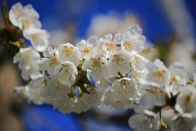 Photograph - Cherry Blossoms In Spring by Lynn Hopwood