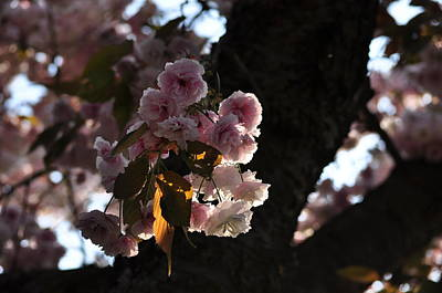 Photograph - Cherry Blossoms In Spring Season by Martin Stankewitz