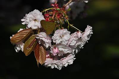 Photograph - Cherry Blossoms In Sunlight Prunus Serrulata Shirofugen by Martin Stankewitz