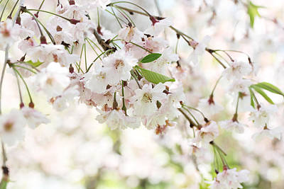 Photograph - Cherry Blossoms In The Spring by Trina  Ansel
