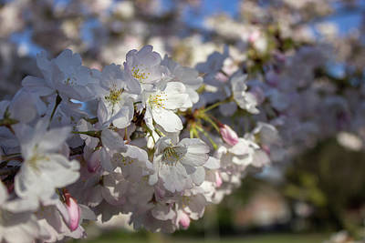 Photograph - Cherry Blossoms by Jason Clarke
