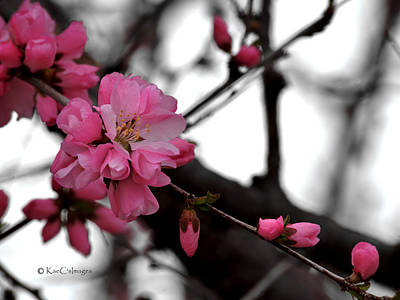 Photograph - Cherry Blossoms by Kae Cheatham