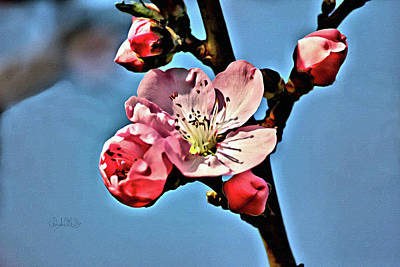 Photograph - Cherry Blossoms Macro  by Sandi OReilly