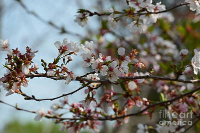 Photograph - Cherry Blossoms by Maria Urso