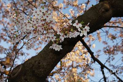 Cherry Blossoms Photograph - Cherry Blossoms by Megan Cohen
