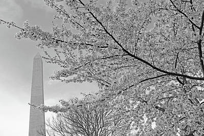 Photograph - Cherry Blossoms Near The Washington Monument -- 2 by Cora Wandel
