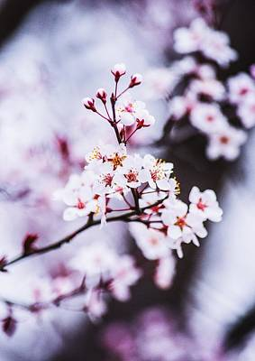 Art Print featuring the photograph Cherry Blossoms by Parker Cunningham