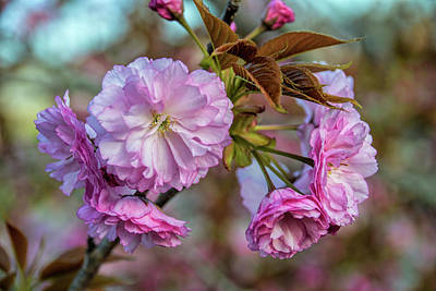 Photograph - Cherry Blossoms by Pat Cook