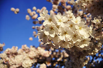 Cherry Blossoms Photograph - Cherry Blossoms by Pelo Blanco Photo