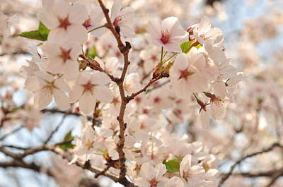 Photograph - Cherry Blossoms  by Puzzles Shum