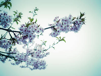 Photograph - Cherry Blossoms by Rachel Mirror