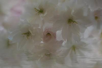 Photograph - Cherry Blossoms Reflection by Jacqui Boonstra