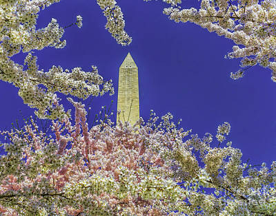 Photograph - Cherry Blossoms Skyward by Nick Zelinsky