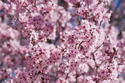 Photograph - Cherry Blossoms by Tatiana Travelways