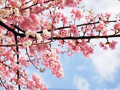 Focus On Foreground Photograph - Cherry Blossoms Under Blue Sky by Neconote