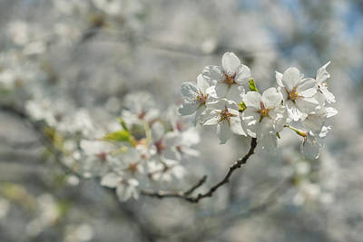 Photograph - Cherry Blossoms by Valerie Rosen