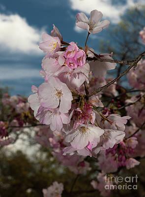 Photograph - Cherry Blossoms Vertical by Glenn Franco Simmons