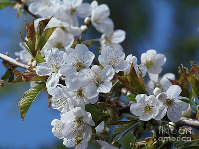 Art Print featuring the photograph Cherry Blossoms by Victor K