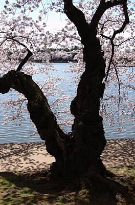 Cherry Blossoms Washington Dc Art Print by Wayne Higgs