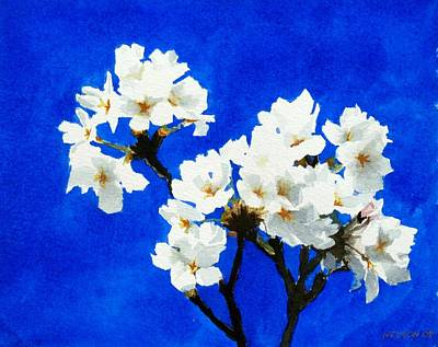 Cherry Blossoms Print by William  Nelson
