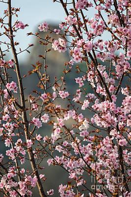Photograph - Cherry Blossoms With Sugarloaf Winona Minnesota by Kari Yearous