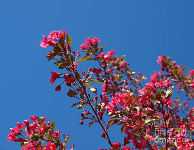 Photograph - Cherry Blossoms Worshiping Sun And Sky by Christine S Zipps