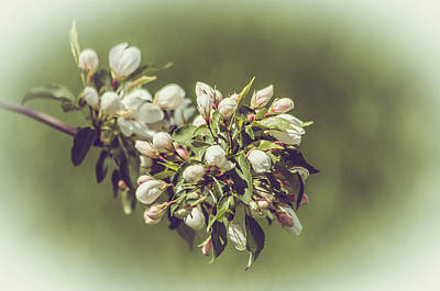 Cherry Blossoms Art Print by Yeates Photography