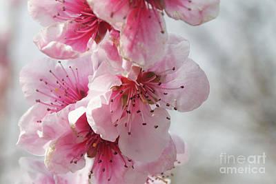 Photograph - Cherry Flowers by Cristian Ferronato