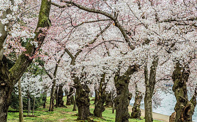 Photograph - Cherry Forest by Karen Saunders