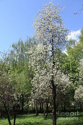 Photograph - Cherry Garden In Blossom by Irina Afonskaya