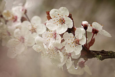 Photograph - Cherry In Rain by Inge Riis McDonald