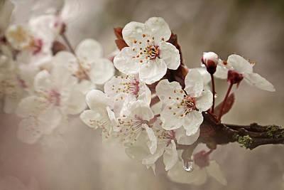 Photograph - Cherry In Rain by Inge Riis McDonald
