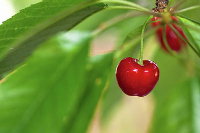 Photograph - Cherry by Jonathan Nguyen