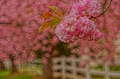 Photograph - Cherry Lane by Julie Grandfield