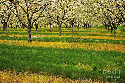Photograph - Cherry Orchard Lines by Randy Pollard