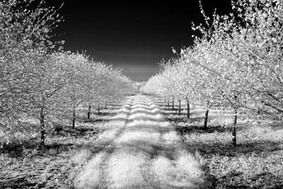 Photograph - Cherry Orchards by CA  Johnson