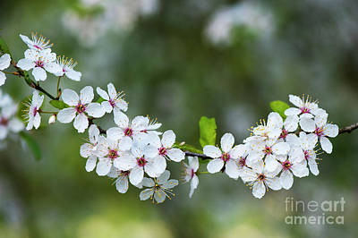 Photograph - Cherry Plum Blossom In Spring by Tim Gainey