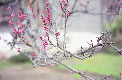 Photograph - Cherry Plum Spring Branch  by Jenny Rainbow