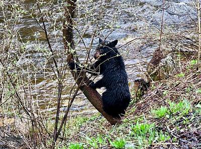 Photograph - Cherry River Black Bear by Chris Berrier