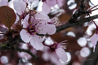 Photograph - Cherry Spring by Mick Anderson