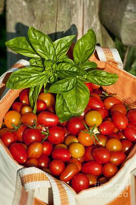 Solanum Lycopersicum Photograph - Cherry Tomato Harvest by John Greim