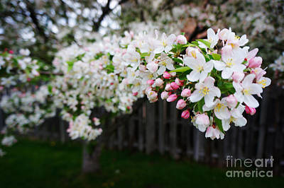 Cherry Blossoms Painting - Cherry Tree by Celestial Images
