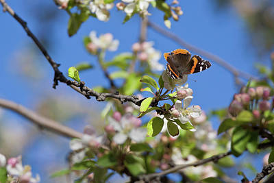 Photograph - Monarch Butterfly On Cherry Tree by Tatiana Travelways
