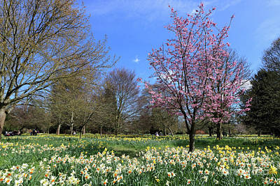 Photograph - Cherry Tree And Daffodils England by Julia Gavin