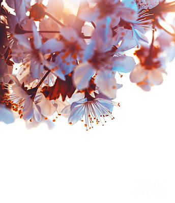 Photograph - Cherry Tree Blooming Border by Anna Om