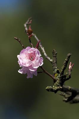 Bloosom Photograph - Cherry Tree Bloosom by Alexander Rozinov