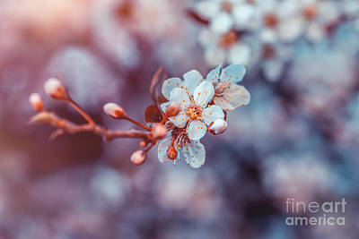 Photograph - Cherry Tree Blossom by Anna Om