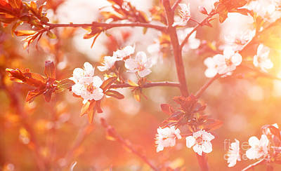 Photograph - Cherry Tree Blossom Background by Anna Om